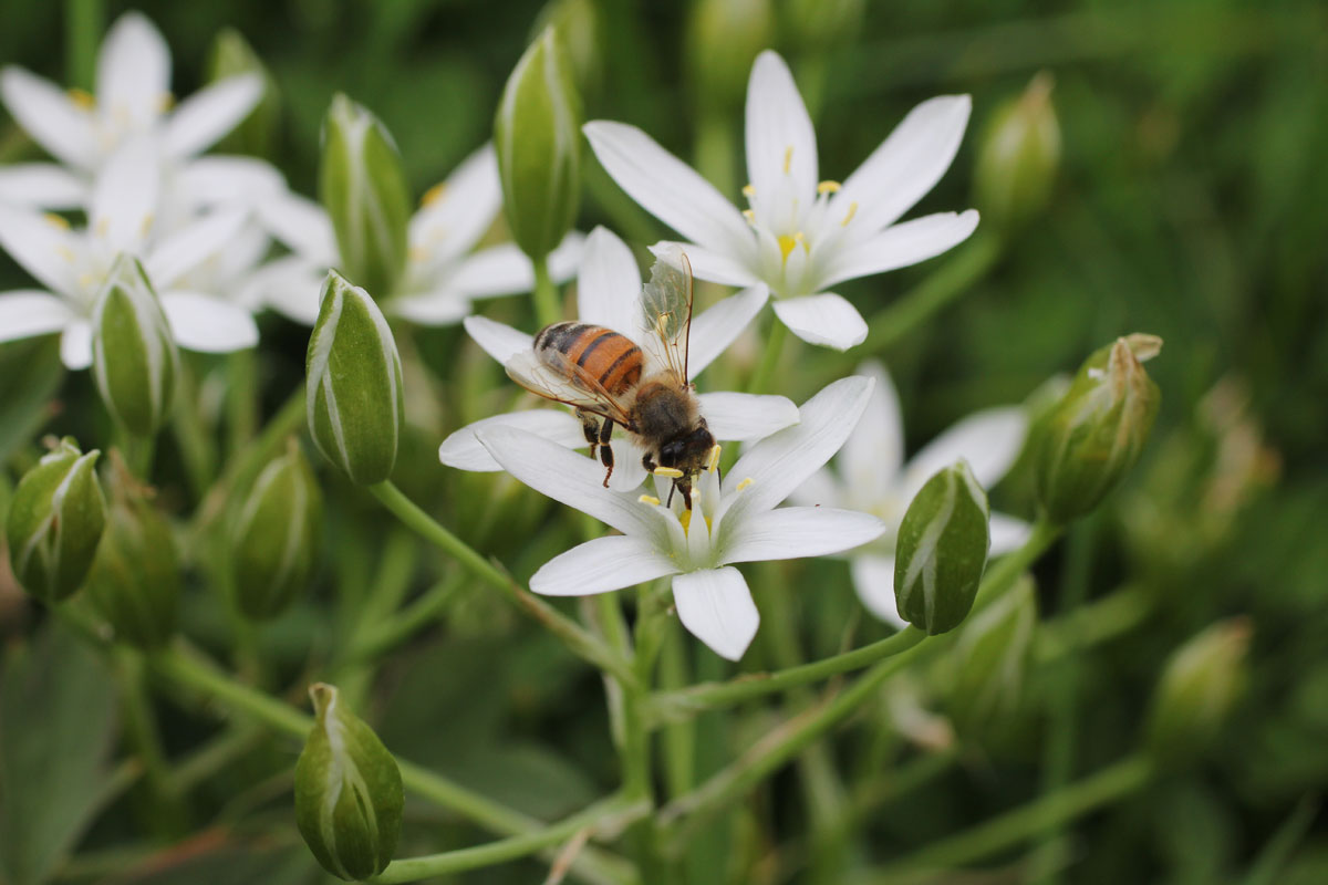 A Honey Bee on Ornithogalum umbellatum