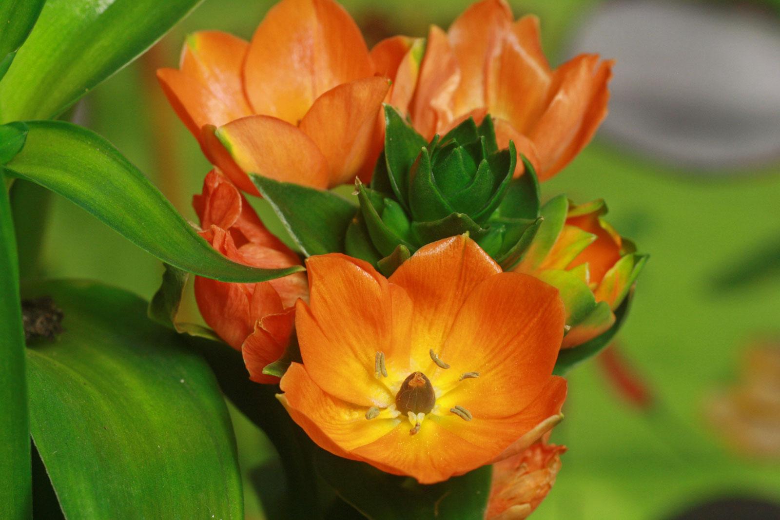 Ornithogalum dubium Blüten